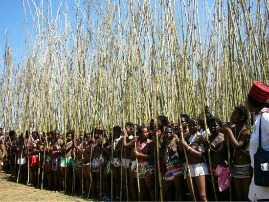 Zulu Maidens Holding Reeds At Reed Dance