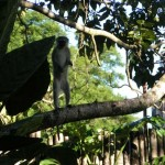 Vervet Monkey at Backpackers